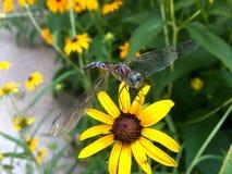 Dragonfly на Сьюзане наблюданном чернотой Стоковые Изображения