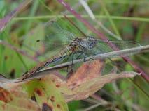 Dragonfly на траве Стоковое Изображение