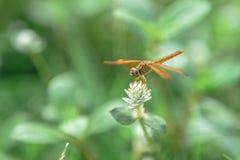 Dragonfly на траве Стоковые Фото