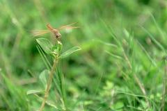 Dragonfly на траве Стоковые Изображения RF