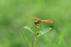 Dragonfly на траве Стоковые Фотографии RF