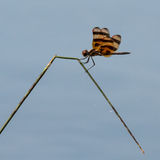 Dragonfly на тростнике Стоковые Фотографии RF