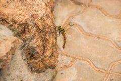 Dragonfly на утесе стоковая фотография