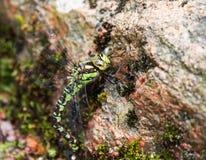 Dragonfly на утесе Стоковая Фотография RF