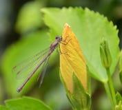 Dragonfly на цветке Стоковые Изображения RF