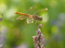 Dragonfly на цветке Стоковые Изображения