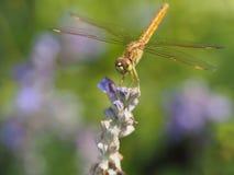 Dragonfly на цветке Стоковое фото RF