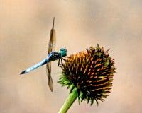Dragonfly на coneflower Стоковые Фото