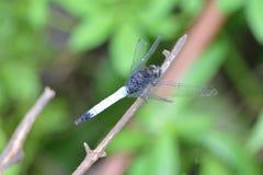 Dragonfly на Kangra Himachal Pradesh Стоковое Фото