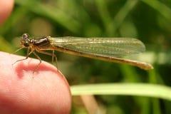 dragonfly немногая Стоковое Фото