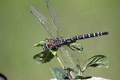 Dragonfly обнажанный синью на wildflower Манитобы Стоковые Изображения