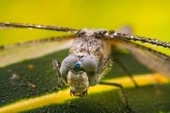 Dragonfly обтирая свои глаза Стоковое фото RF
