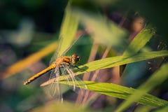 Dragonfly освещенный солнечным светом сидит на траве около пруда стоковые изображения rf
