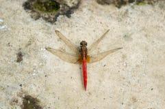 Dragonfly отдыхая на сломленной стене стоковые изображения rf