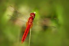 Dragonfly от Шри-Ланки Восточный шарлах, servilia Crocothemis, сидя на зеленых листьях Красивая муха дракона в природе стоковая фотография rf