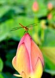 Dragonfly отдыхая на бутоне лотоса Стоковые Изображения