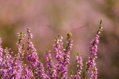 Dragonfly отдыхая на вереске Стоковые Фото