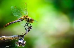 Dragonfly отдыхая на ветви Стоковая Фотография RF