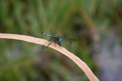 Dragonfly отдыхая на травинке Стоковые Фотографии RF