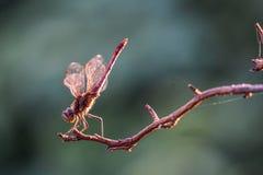 Dragonfly отдыхая на хворостине в солнце Стоковые Фотографии RF