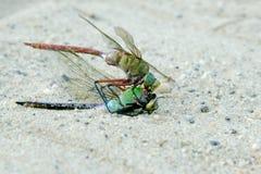 Dragonfly подавая сама по себе закрывает вверх по макросу Стоковая Фотография RF