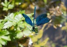 Dragonfly портрета стоковое изображение rf