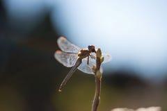 Dragonfly подсвеченный, в живой природе, ecostystem Стоковое фото RF