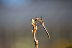 Dragonfly подсвеченный, в живой природе, ecostystem Стоковая Фотография RF