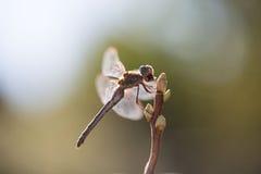 Dragonfly подсвеченный, в живой природе, ecostystem Стоковая Фотография