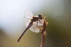 Dragonfly подсвеченный, в живой природе, ecostystem Стоковое Фото