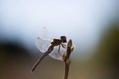 Dragonfly подсвеченный, в живой природе, ecostystem Стоковые Изображения