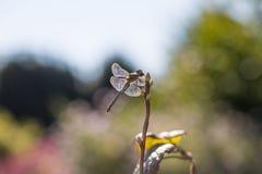 Dragonfly подсвеченный, в живой природе, ecostystem Стоковые Изображения RF