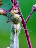 dragonfly рождения Стоковое Изображение RF