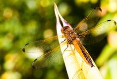 dragonfly садился на насест Стоковое Изображение RF