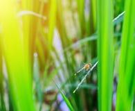 Dragonfly садить на насест на лист риса Стоковые Фото