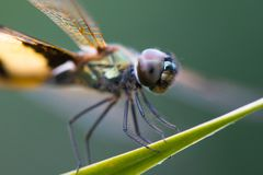 Dragonfly садить на насест на лист Стоковое фото RF