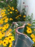 Dragonfly садить на насест на загородке Стоковое фото RF