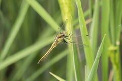 Dragonfly садить на насест на лист Стоковые Фотографии RF