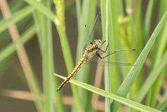 Dragonfly садить на насест на лист Стоковое Изображение RF