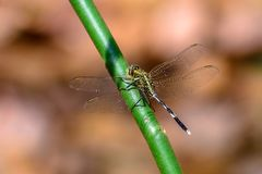 Dragonfly сидя на ветви Стоковые Фотографии RF