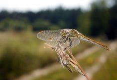Dragonfly сидя на сухой ветви Стоковые Изображения