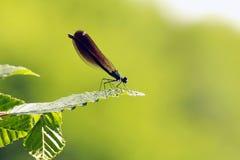 Dragonfly сини военно-морского флота на лист стоковое фото