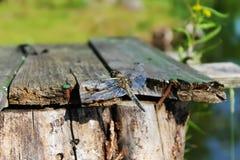 Dragonfly сидит на деревянных досках на предпосылке деревьев Стоковые Фото