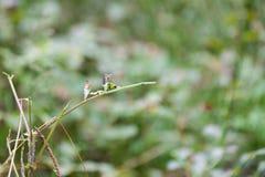 Dragonfly сидит на заводе, конце вверх по фото Стоковые Фотографии RF