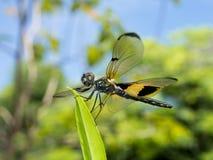 Dragonfly сидит на лист Стоковые Изображения RF