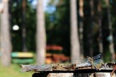 Dragonfly сидит на стенде на заднем плане деревьев Стоковое Изображение RF
