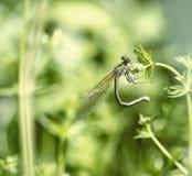 Dragonfly сидит на черенок Стоковые Изображения