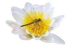 Dragonfly сидя на лилии на изолированной предпосылке Стоковое фото RF