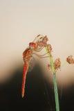 Dragonfly солнце утра Стоковые Изображения