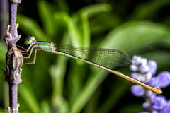 Dragonfly схватывая на цветке Стоковая Фотография RF